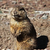 Williams Prairie Dogs :